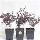 <b>Loropetalum Mini P/B</b> (Pianta Singola) - cm.20-9,80