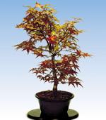 Schede pratiche pagine verdi bonsai for Acero bonsai vendita