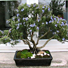 301 moved permanently for Bonsai limone vendita