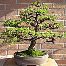 La galleria fotografica dei clienti pagine verdi bonsai for Bonsai limone vendita