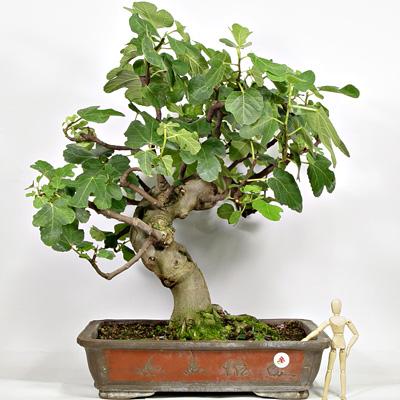 Schede pratiche pagine verdi bonsai for Dove comprare bonsai