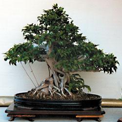 Il ficus classico bonsai da interno riesce a vegetare for Bonsai da interno