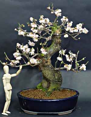 Schede pratiche pagine verdi bonsai for Vasi bonsai giapponesi
