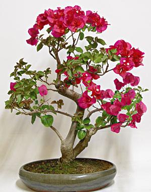 Schede pratiche pagine verdi bonsai for Bouganville fioritura