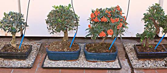 Tecniche di coltivazione pagine verdi bonsai for Sistemi di irrigazione a goccia per vasi