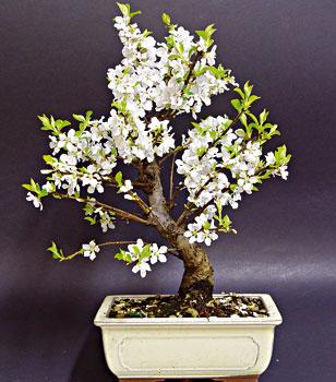 Schede pratiche pagine verdi bonsai for Bonsai ciliegio