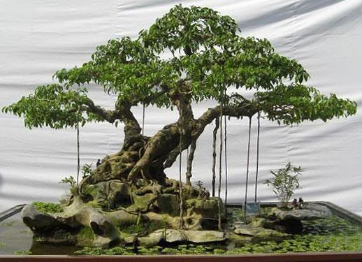 Schede pratiche pagine verdi bonsai - Piante grandi da giardino ...
