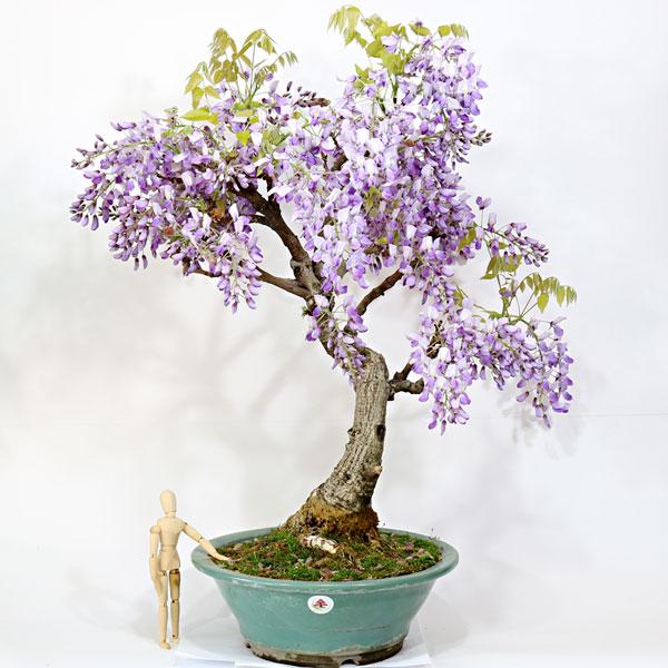 Schede pratiche pagine verdi bonsai for Glicine bonsai prezzo