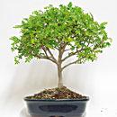 Tecniche di coltivazione pagine verdi bonsai for Bonsai pepe