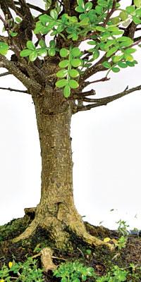 Schede pratiche pagine verdi bonsai for Bonsai pepe