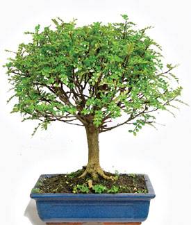 kama blog il pepe bonsai zanthoxylum piperitum