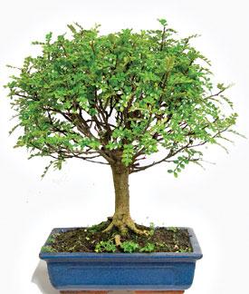 Kama blog il pepe bonsai zanthoxylum piperitum for Bonsai pianta