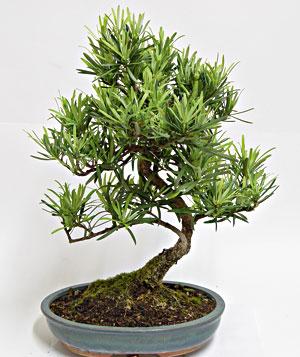 Schede pratiche pagine verdi bonsai - Cura dei bonsai in casa ...
