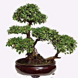 Schede pratiche pagine verdi bonsai for Bonsai prezzi