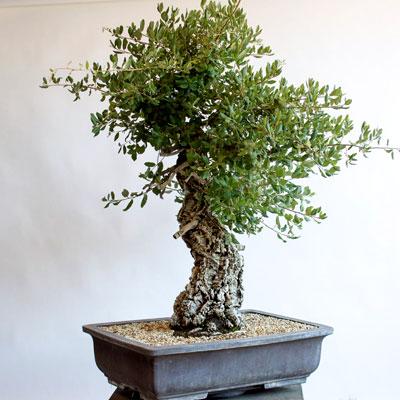 Schede pratiche pagine verdi bonsai for Quercia sempreverde