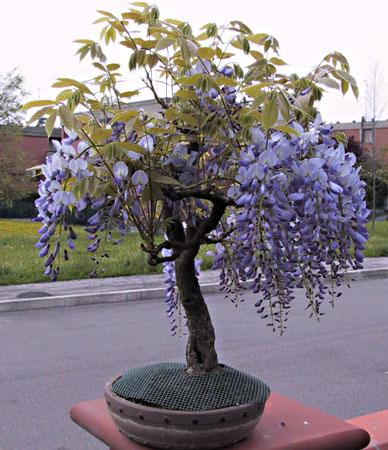 Bonsai co pagina 4 for Glicine bonsai prezzo